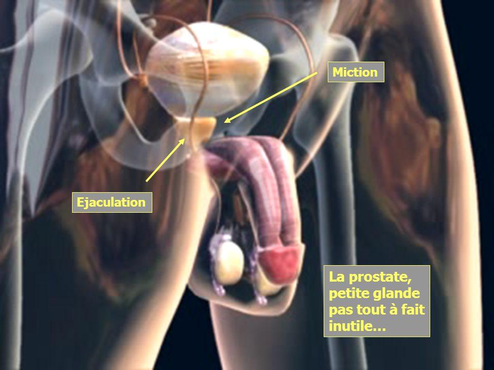 Miction Ejaculation La prostate, petite glande pas tout à fait inutile…