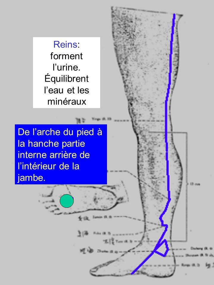 Reins: forment lurine. Équilibrent leau et les minéraux De larche du pied à la hanche partie interne arrière de lintérieur de la jambe.