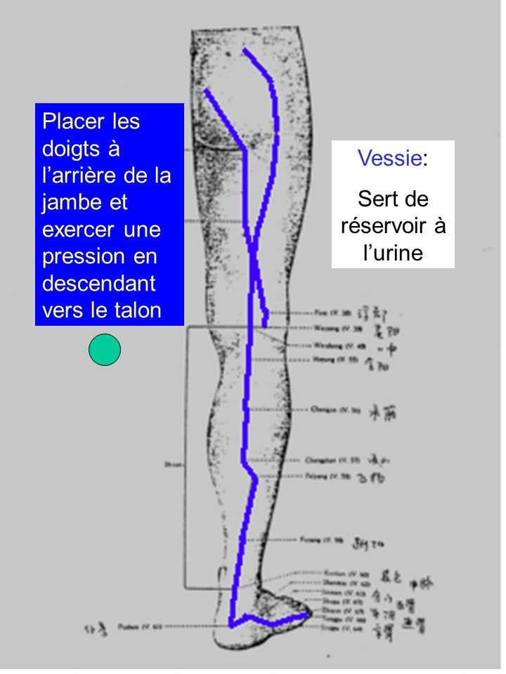 Vessie: Sert de réservoir à lurine Placer les doigts à larrière de la jambe et exercer une pression en descendant vers le talon