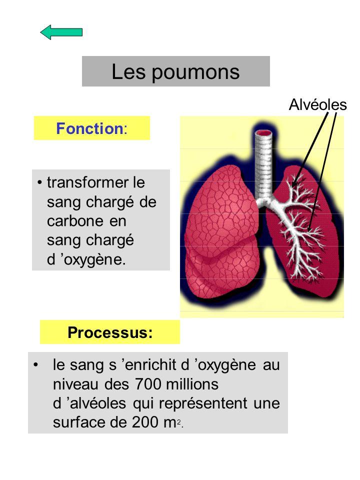 le sang s enrichit d oxygène au niveau des 700 millions d alvéoles qui représentent une surface de 200 m 2. Les poumons Fonction: transformer le sang