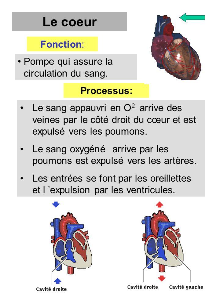 Le sang appauvri en O 2 arrive des veines par le côté droit du cœur et est expulsé vers les poumons. Le sang oxygéné arrive par les poumons est expuls