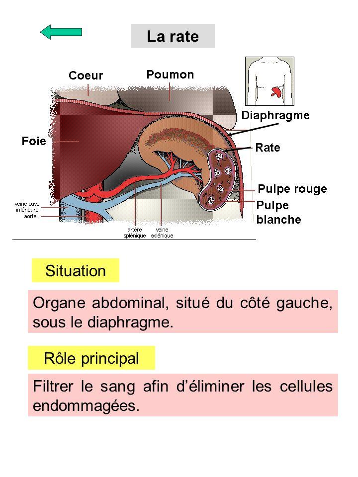 La rate Situation Organe abdominal, situé du côté gauche, sous le diaphragme. Rôle principal Filtrer le sang afin déliminer les cellules endommagées.
