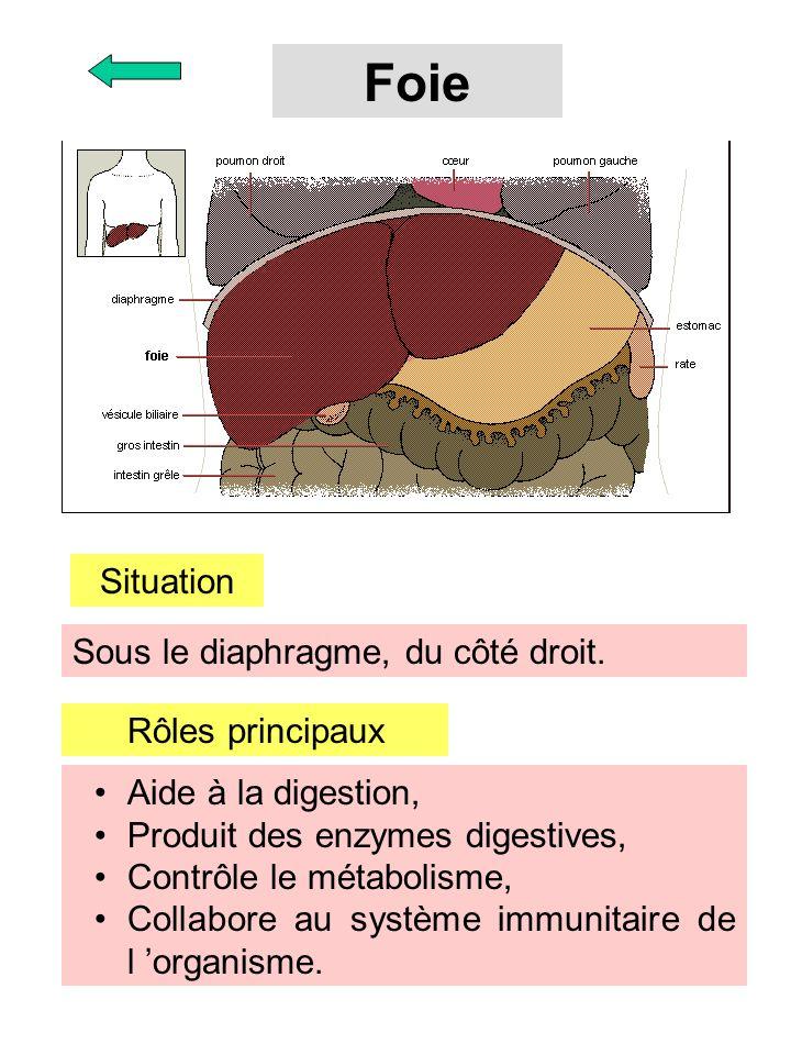Foie Situation Sous le diaphragme, du côté droit. Rôles principaux Aide à la digestion, Produit des enzymes digestives, Contrôle le métabolisme, Colla