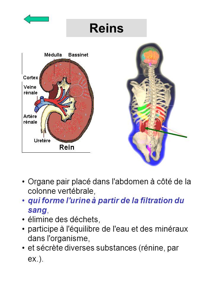 Organe pair placé dans l'abdomen à côté de la colonne vertébrale, qui forme l'urine à partir de la filtration du sang, élimine des déchets, participe