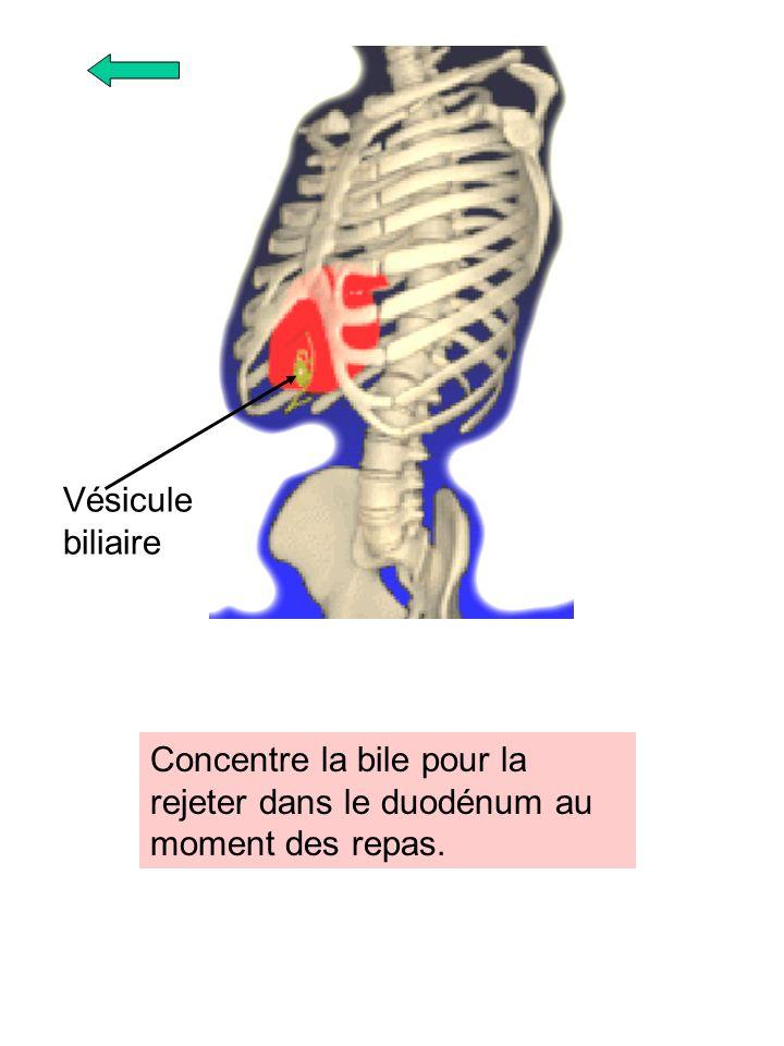 Vésicule biliaire Concentre la bile pour la rejeter dans le duodénum au moment des repas.