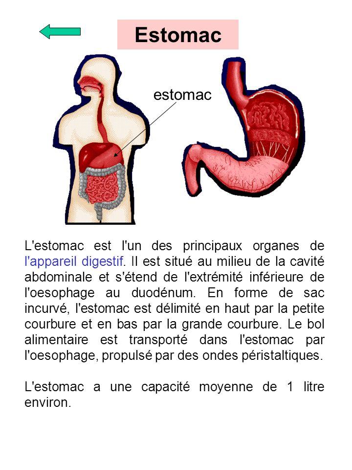 L'estomac est l'un des principaux organes de l'appareil digestif. Il est situé au milieu de la cavité abdominale et s'étend de l'extrémité inférieure