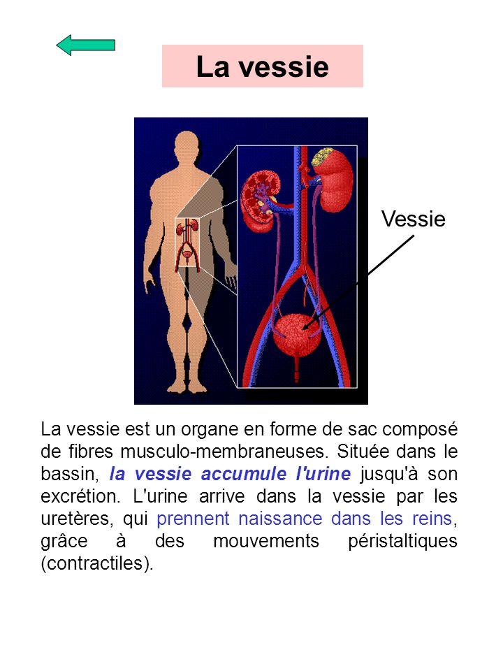 La vessie est un organe en forme de sac composé de fibres musculo-membraneuses. Située dans le bassin, la vessie accumule l'urine jusqu'à son excrétio