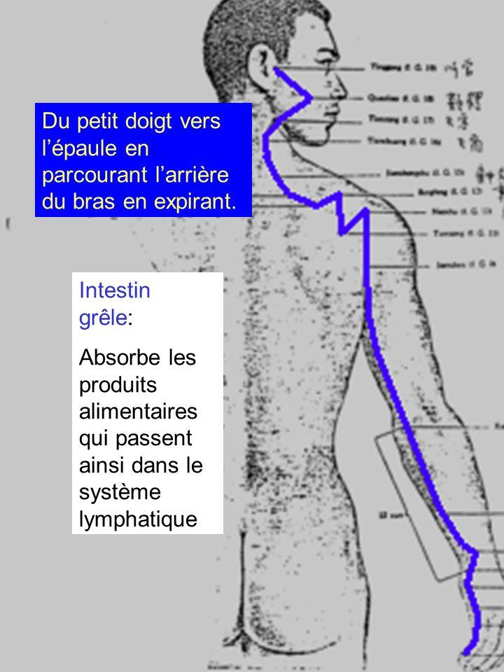 Intestin grêle: Absorbe les produits alimentaires qui passent ainsi dans le système lymphatique Du petit doigt vers lépaule en parcourant larrière du