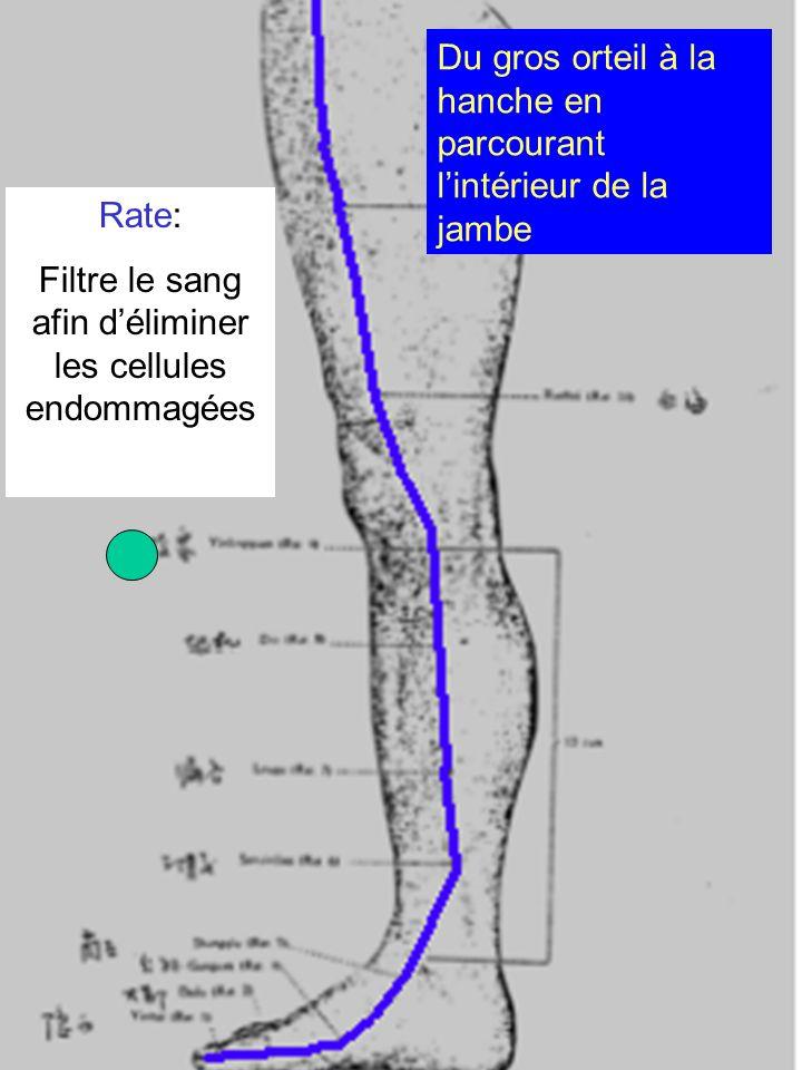 Rate: Filtre le sang afin déliminer les cellules endommagées Du gros orteil à la hanche en parcourant lintérieur de la jambe