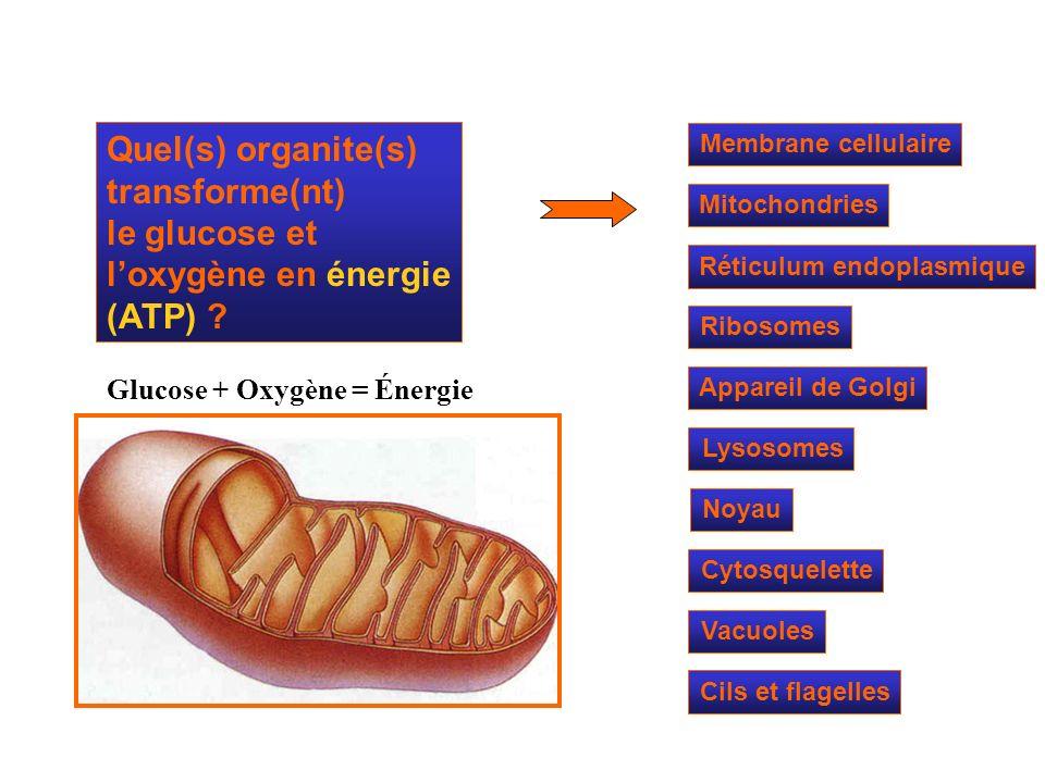 Mitochondries Ribosomes Réticulum endoplasmique Appareil de Golgi Lysosomes Cytosquelette Noyau Membrane cellulaire Quel(s) organite(s) transforme(nt)