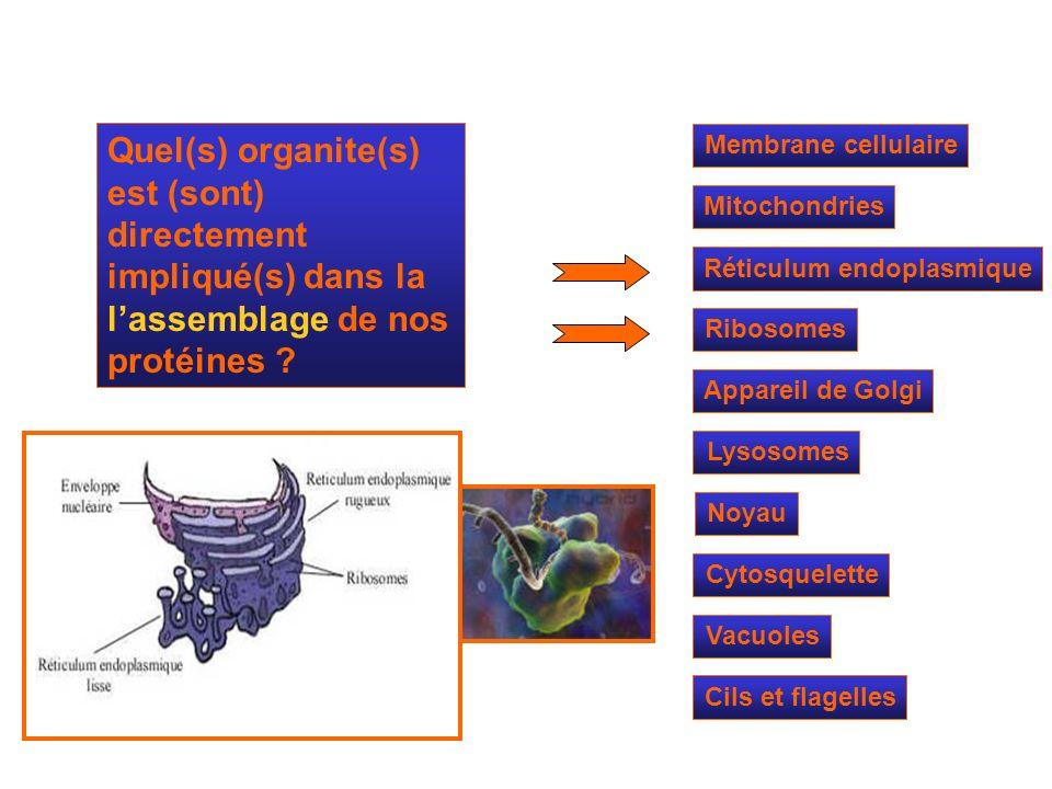 Mitochondries Ribosomes Réticulum endoplasmique Appareil de Golgi Lysosomes Cytosquelette Noyau Membrane cellulaire Quel(s) organite(s) est (sont) dir