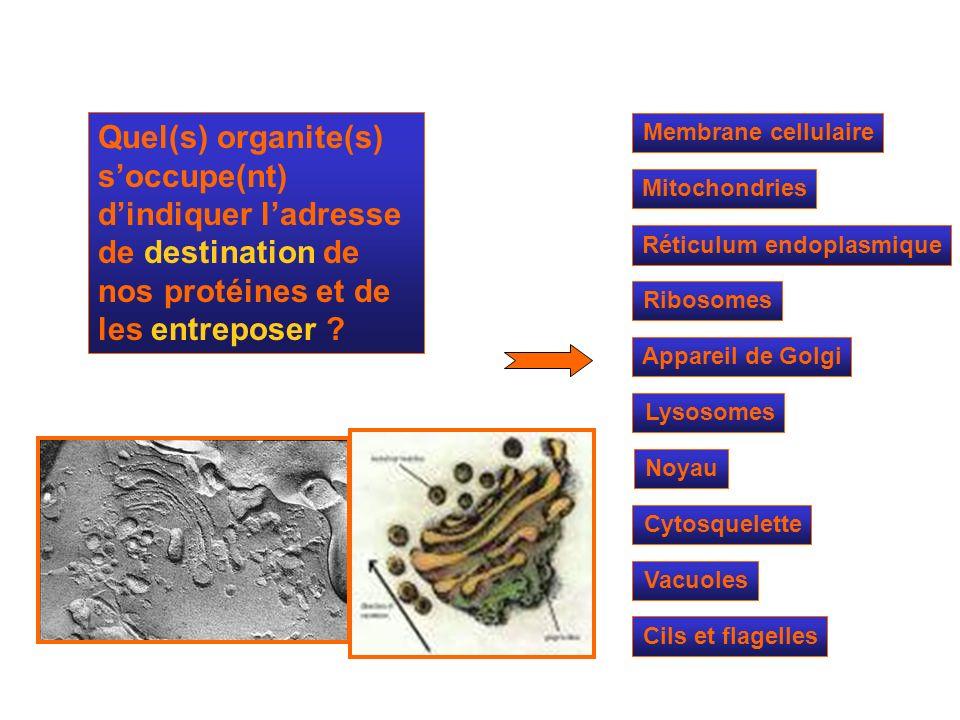 Mitochondries Ribosomes Réticulum endoplasmique Appareil de Golgi Lysosomes Cytosquelette Noyau Membrane cellulaire Quel(s) organite(s) soccupe(nt) di