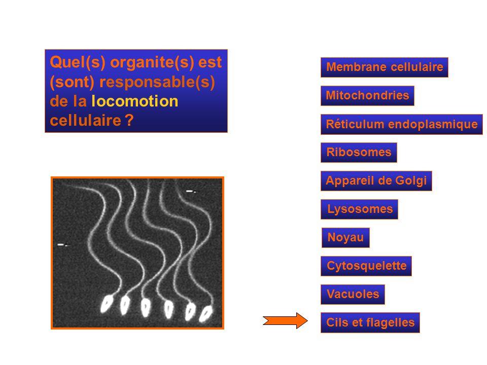 Mitochondries Ribosomes Réticulum endoplasmique Appareil de Golgi Lysosomes Cytosquelette Noyau Membrane cellulaire Quel(s) organite(s) est (sont) res