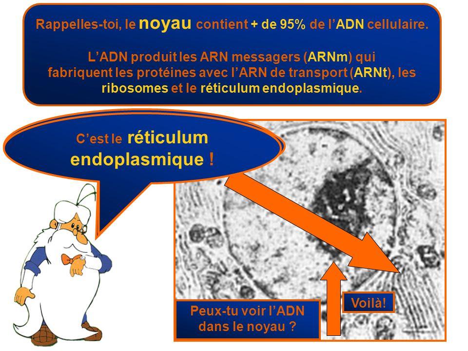 Rappelles-toi, le noyau contient + de 95% de lADN cellulaire. LADN produit les ARN messagers (ARNm) qui fabriquent les protéines avec lARN de transpor