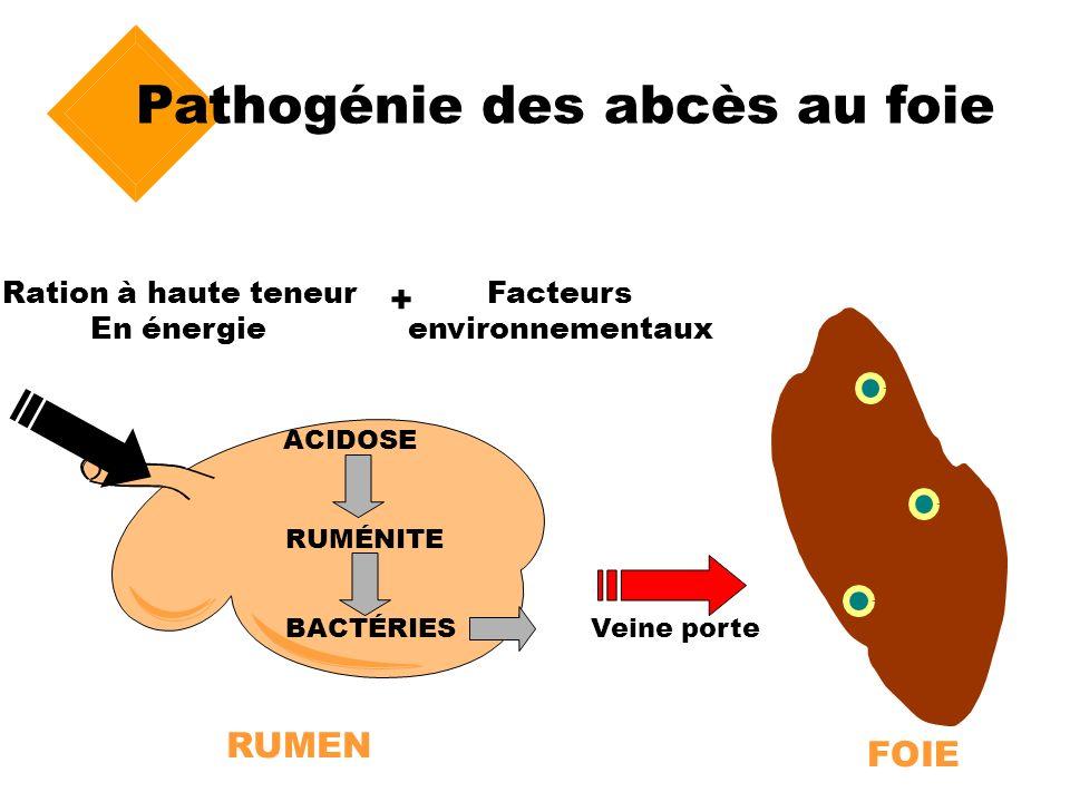 Pathogénie des abcès au foie ACIDOSE RUMÉNITE BACTÉRIESVeine porte Ration à haute teneur En énergie RUMEN FOIE + Facteurs environnementaux