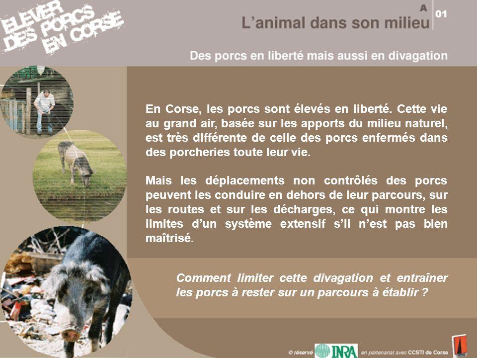 En Corse, les porcs sont élevés en liberté. Cette vie au grand air, basée sur les apports du milieu naturel, est très différente de celle des porcs en