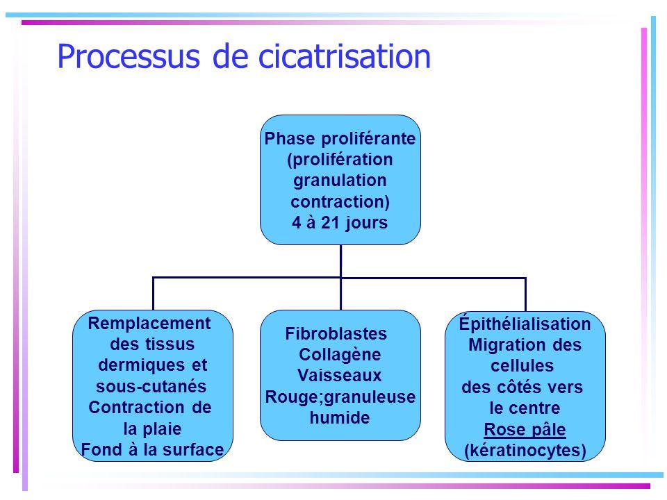Processus de cicatrisation Phase proliférante (prolifération granulation contraction) 4 à 21 jours Remplacement des tissus dermiques et sous-cutanés C