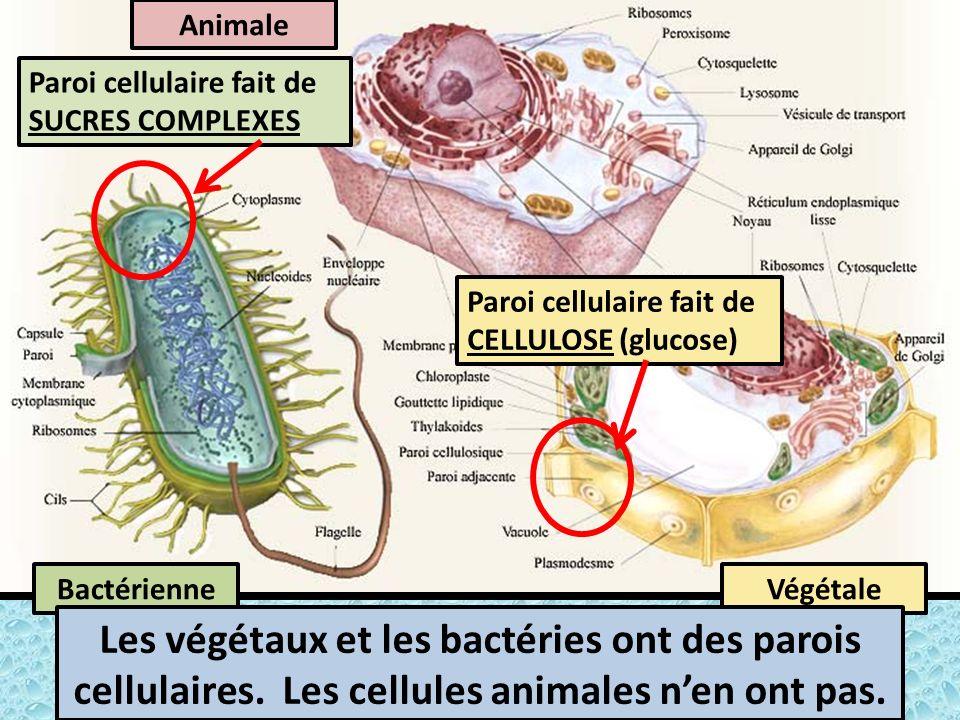 Animale BactérienneVégétale Les végétaux et les bactéries ont des parois cellulaires.