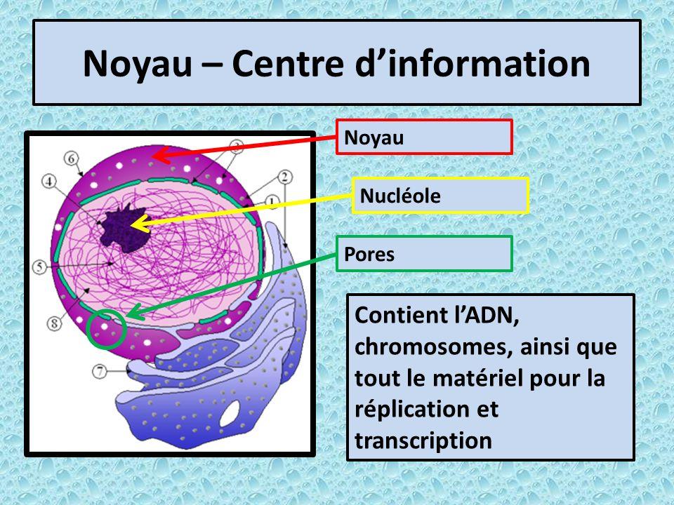 Noyau – Centre dinformation Contient lADN, chromosomes, ainsi que tout le matériel pour la réplication et transcription Noyau Nucléole Pores