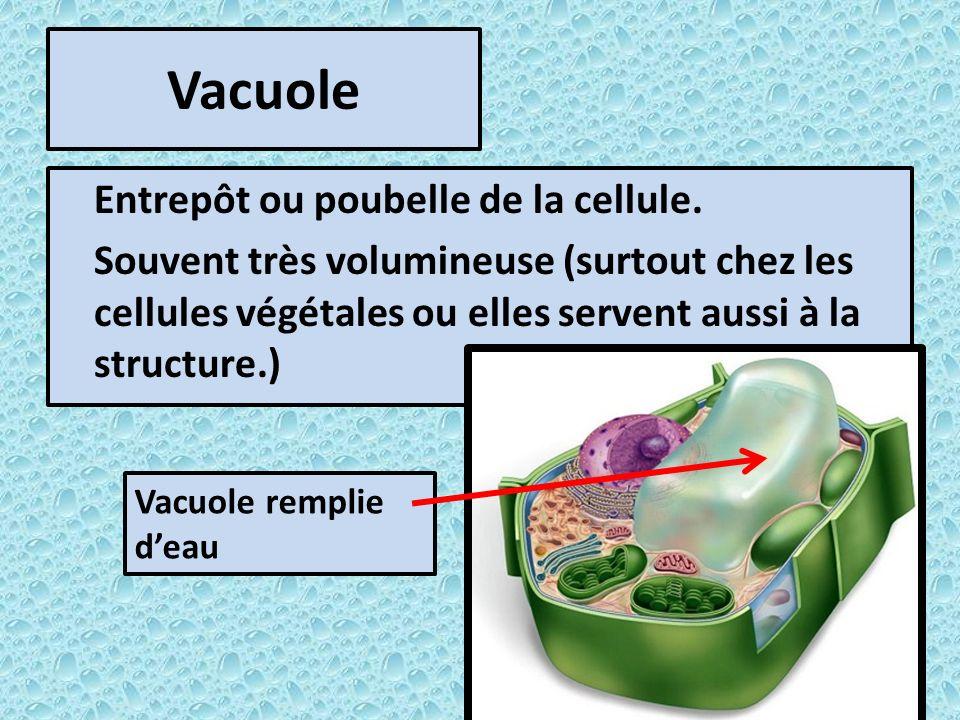 Vacuole Entrepôt ou poubelle de la cellule.