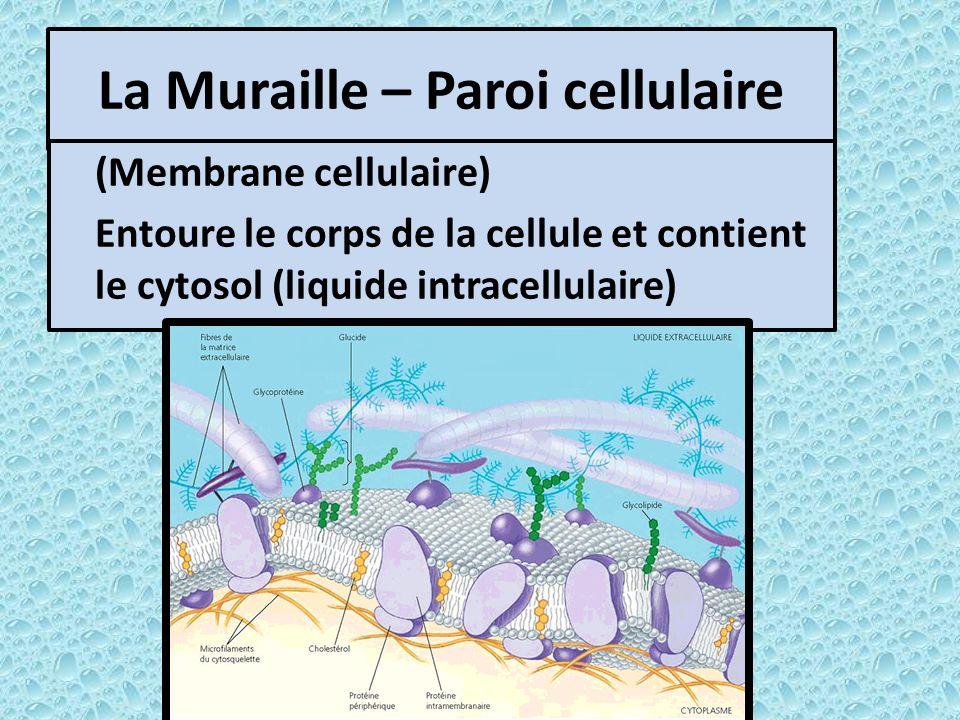 La Muraille – Paroi cellulaire (Membrane cellulaire) Entoure le corps de la cellule et contient le cytosol (liquide intracellulaire)