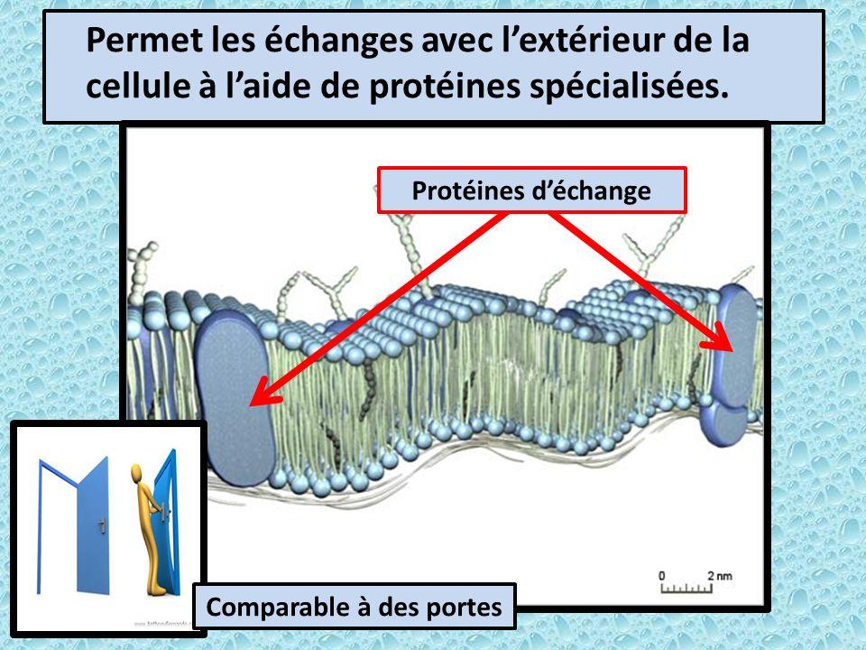 Permet les échanges avec lextérieur de la cellule à laide de protéines spécialisées.