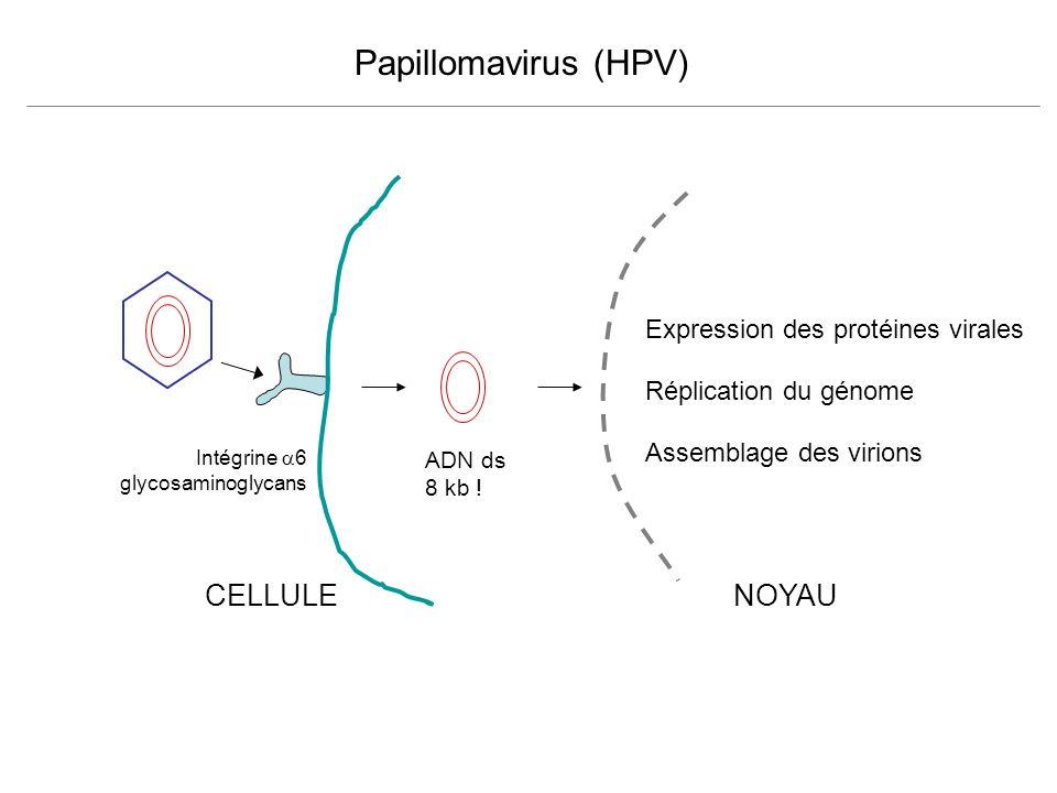 CELLULE Expression des protéines virales Réplication du génome Assemblage des virions ADN ds 8 kb ! NOYAU Papillomavirus (HPV) Intégrine 6 glycosamino