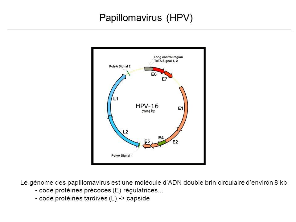 Papillomavirus (HPV) Le génome des papillomavirus est une molécule dADN double brin circulaire denviron 8 kb - code protéines précoces (E) régulatrice