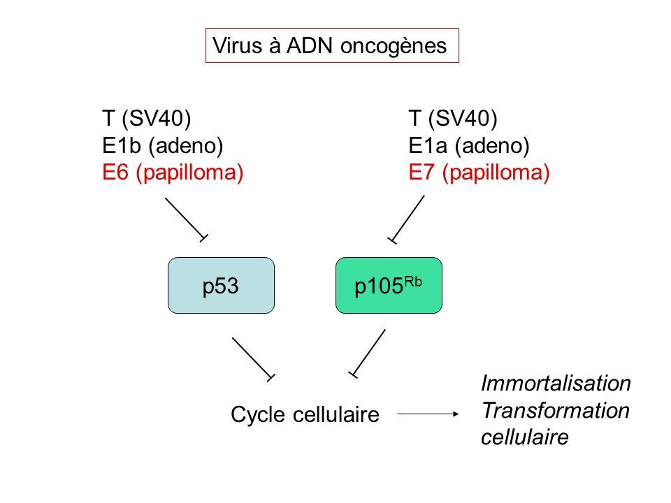 p53 p105 Rb T (SV40) E1b (adeno) E6 (papilloma) T (SV40) E1a (adeno) E7 (papilloma) Virus à ADN oncogènes Cycle cellulaire Immortalisation Transformat
