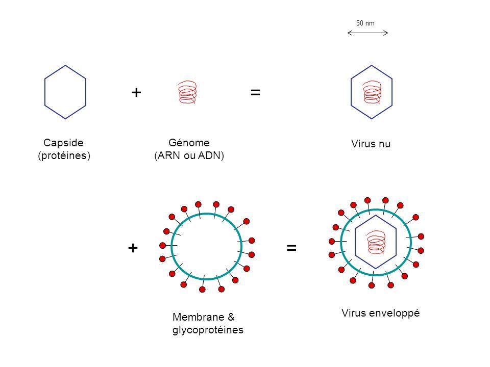 + Capside (protéines) Génome (ARN ou ADN) = Virus nu += Virus enveloppé Membrane & glycoprotéines 50 nm