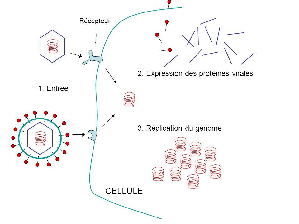 Récepteur CELLULE 2. Expression des protéines virales 3. Réplication du génome 1. Entrée