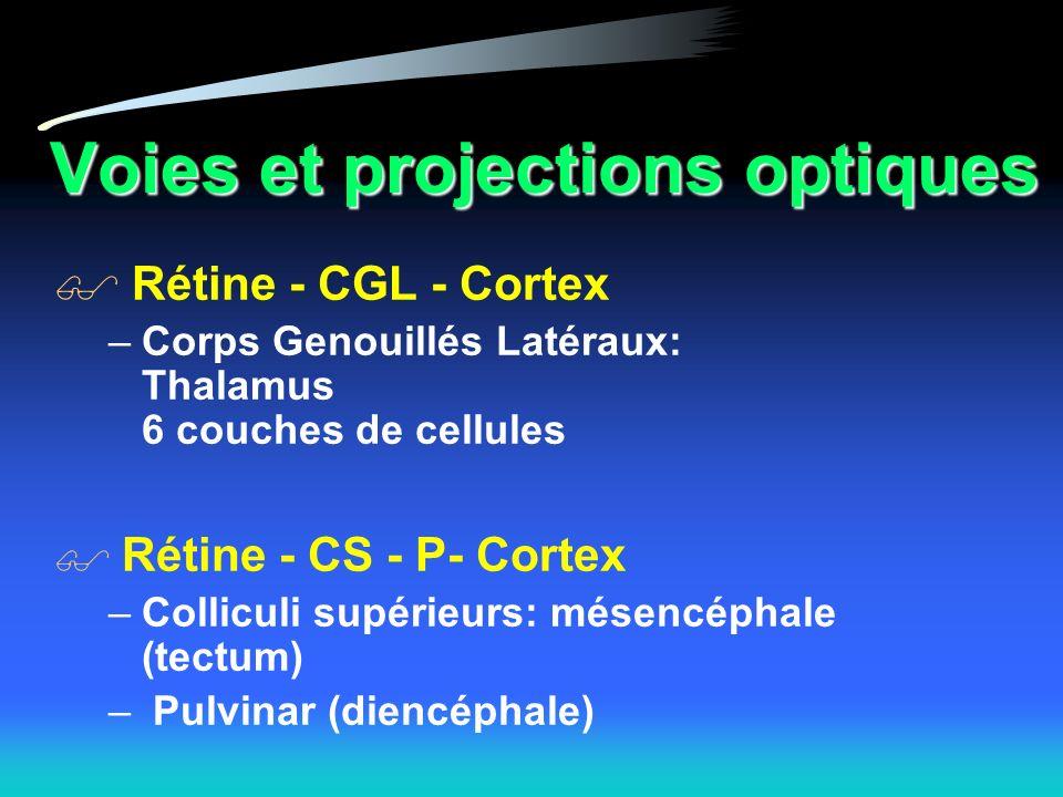 Voies et projections optiques Rétine - CGL - Cortex –Corps Genouillés Latéraux: Thalamus 6 couches de cellules Rétine - CS - P- Cortex –Colliculi supérieurs: mésencéphale (tectum) – Pulvinar (diencéphale)