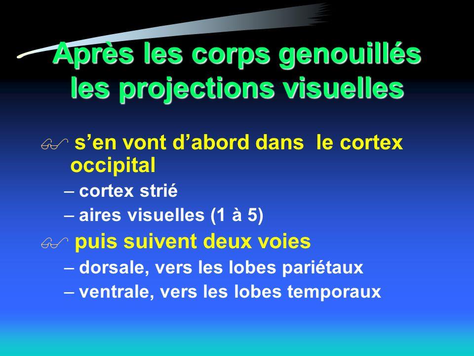 Après les corps genouillés les projections visuelles sen vont dabord dans le cortex occipital –cortex strié –aires visuelles (1 à 5) puis suivent deux voies –dorsale, vers les lobes pariétaux –ventrale, vers les lobes temporaux