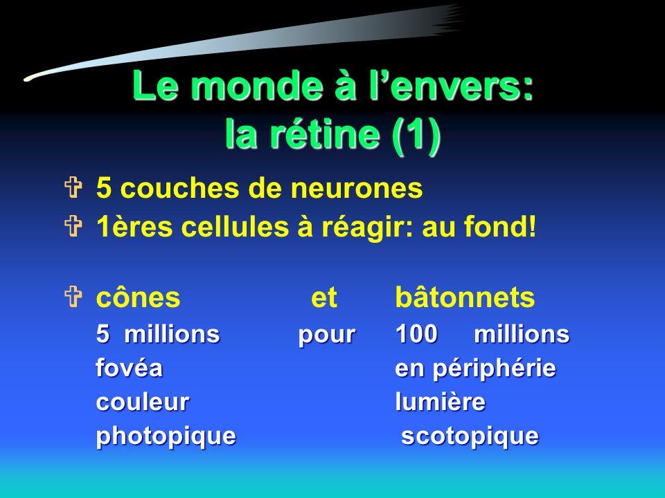 Le monde à lenvers: la rétine (1) 5 couches de neurones 1ères cellules à réagir: au fond.