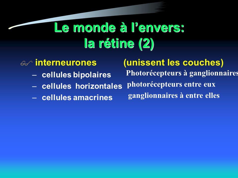Le monde à lenvers: la rétine (2) interneurones – cellules bipolaires – cellules horizontales – cellules amacrines (unissent les couches) Photorécepteurs à ganglionnaires photorécepteurs entre eux ganglionnaires à entre elles