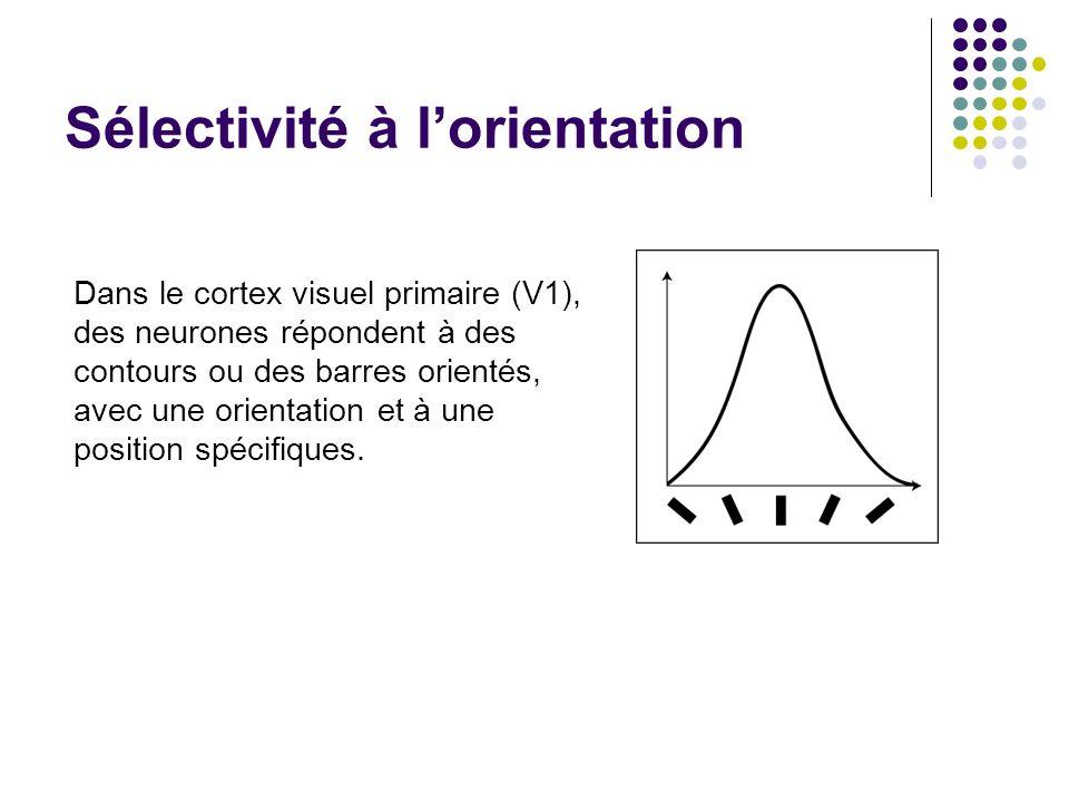 Sélectivité à lorientation Dans le cortex visuel primaire (V1), des neurones répondent à des contours ou des barres orientés, avec une orientation et à une position spécifiques.