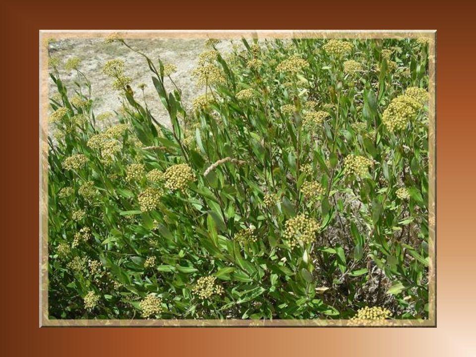 Bordé par des buplèvres ligneux, le chemin suit la vigne jusquà lentrée de la combe. La texture de cet arbuste et de ses fleurs me font espérer quil p