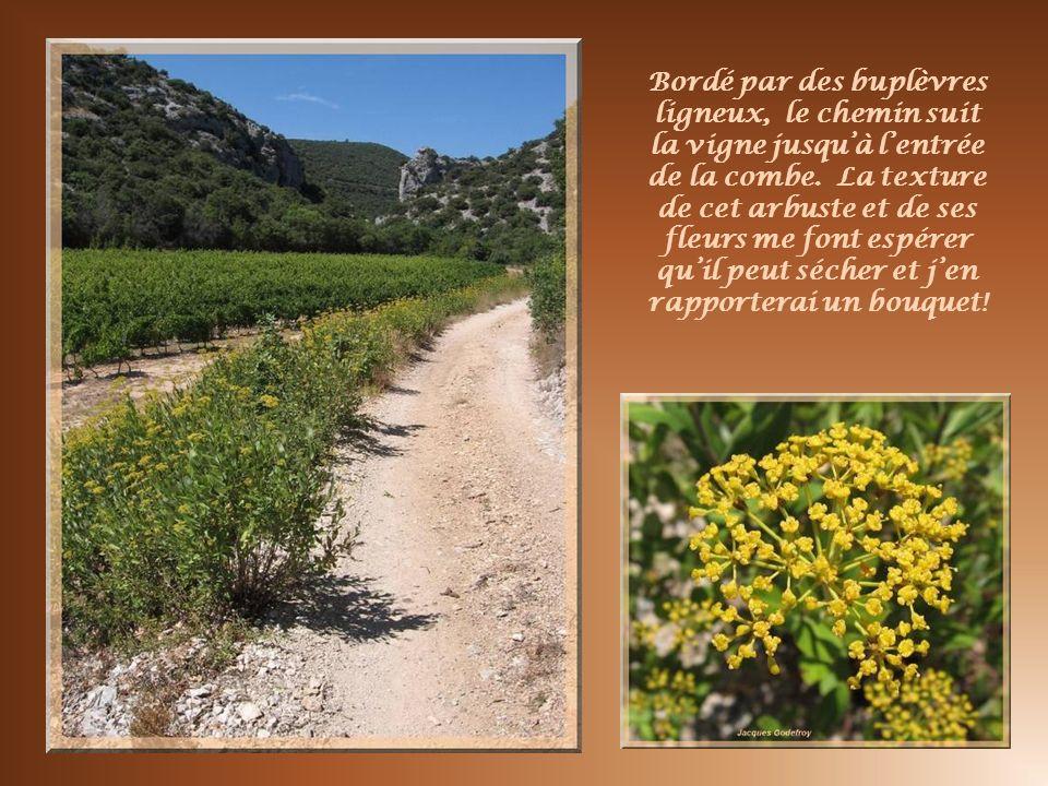 Avant de pénétrer dans la combe, des vignes comme elles sont nombreuses dans la région.