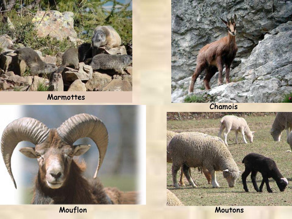 Marmottes Chamois MouflonMoutons