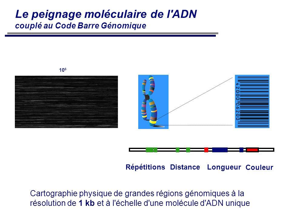 10 6 Le peignage moléculaire de l'ADN couplé au Code Barre Génomique RépétitionsDistanceLongueur Couleur Cartographie physique de grandes régions géno