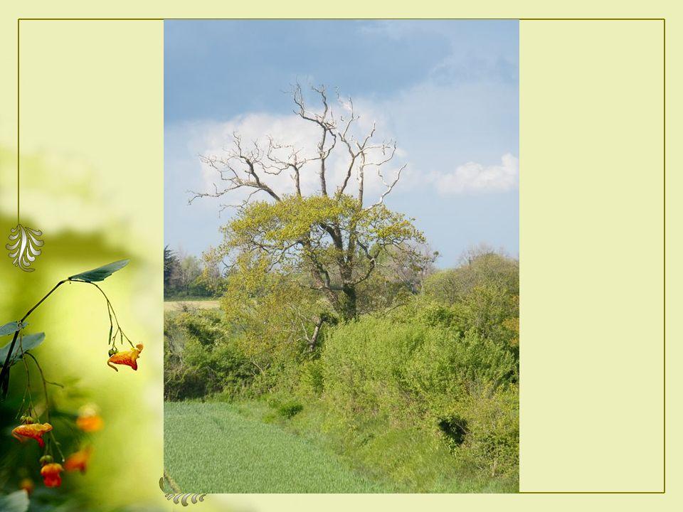 Appuyer sur la barre Despacement toutes les secondes PPS fait daprès mon poème « Au loin un vieil arbre » A lattention spéciale de Booguie Avec toute mon amitié