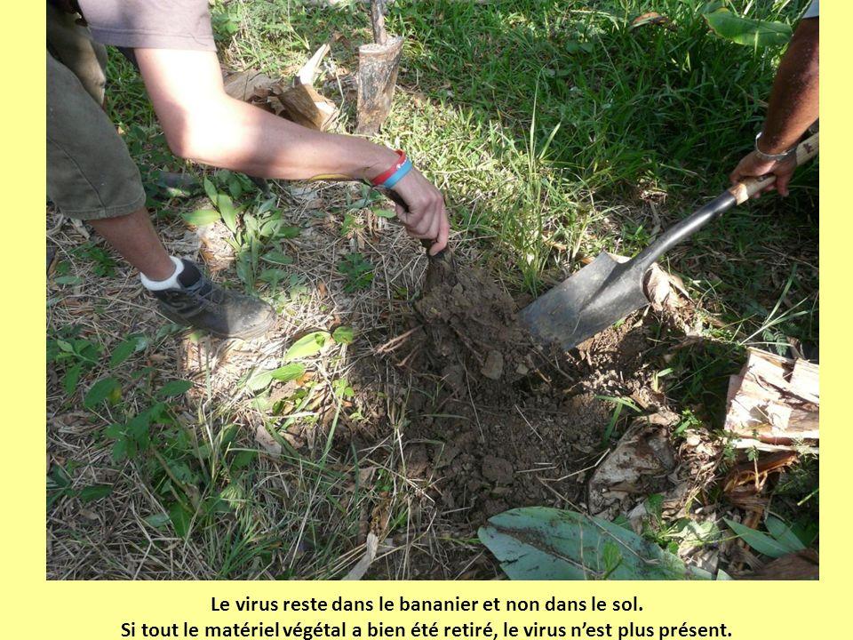 Le virus reste dans le bananier et non dans le sol. Si tout le matériel végétal a bien été retiré, le virus nest plus présent.