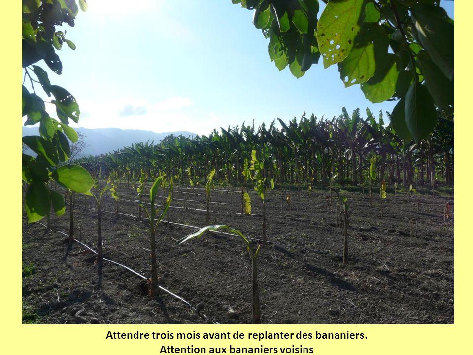 Attendre trois mois avant de replanter des bananiers. Attention aux bananiers voisins