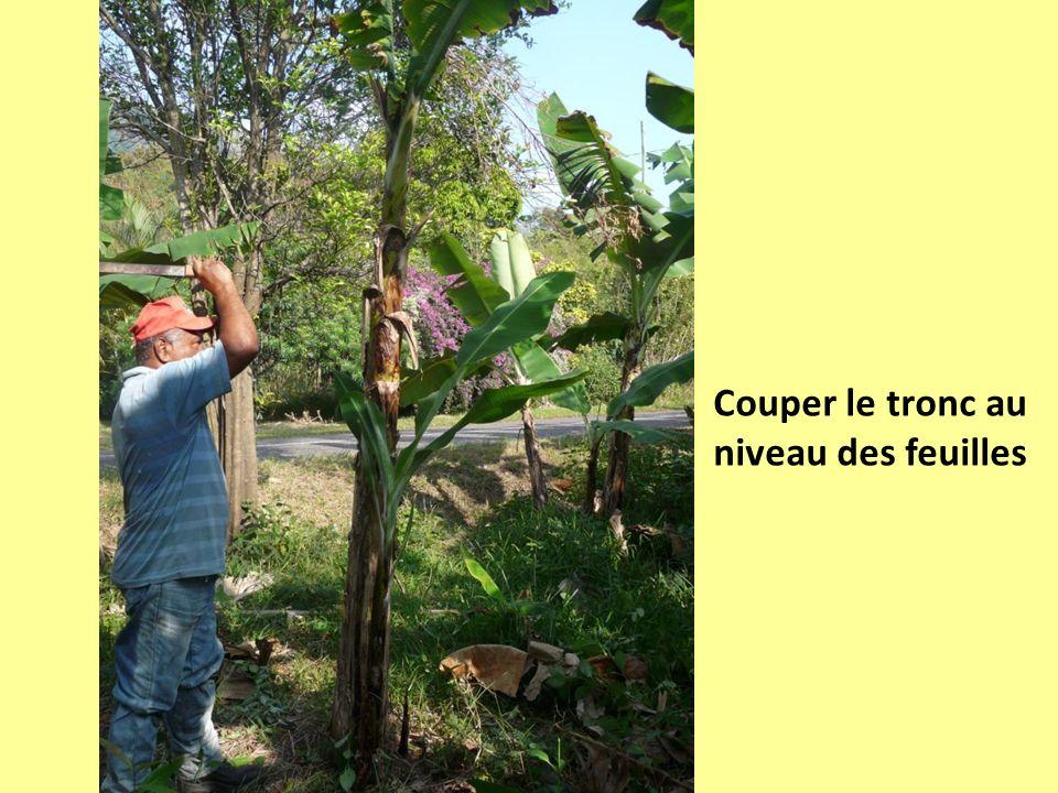 Couper le tronc au niveau des feuilles