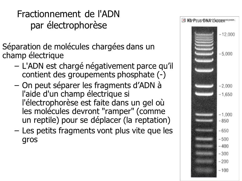 Fractionnement de l ADN par électrophorèse Séparation de molécules chargées dans un champ électrique –L ADN est chargé négativement parce quil contient des groupements phosphate (-) –On peut séparer les fragments dADN à l aide d un champ électrique si l électrophorèse est faite dans un gel où les molécules devront ramper (comme un reptile) pour se déplacer (la reptation) –Les petits fragments vont plus vite que les gros