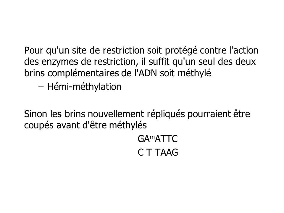 Pour qu un site de restriction soit protégé contre l action des enzymes de restriction, il suffit qu un seul des deux brins complémentaires de l ADN soit méthylé –Hémi-méthylation Sinon les brins nouvellement répliqués pourraient être coupés avant d être méthylés GA m ATTC C T TAAG