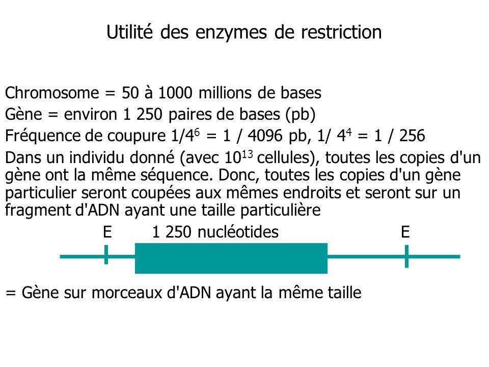 Chromosome = 50 à 1000 millions de bases Gène = environ 1 250 paires de bases (pb) Fréquence de coupure 1/4 6 = 1 / 4096 pb, 1/ 4 4 = 1 / 256 Dans un individu donné (avec 10 13 cellules), toutes les copies d un gène ont la même séquence.