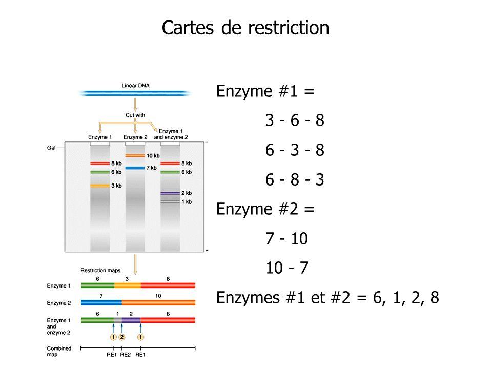 Cartes de restriction Enzyme #1 = 3 - 6 - 8 6 - 3 - 8 6 - 8 - 3 Enzyme #2 = 7 - 10 10 - 7 Enzymes #1 et #2 = 6, 1, 2, 8