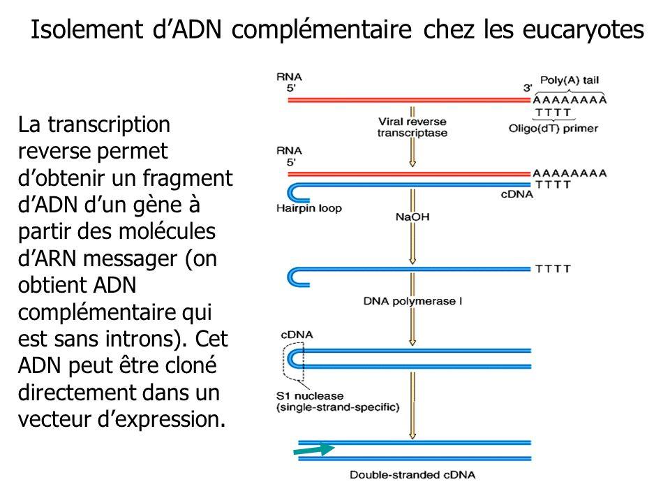 Isolement dADN complémentaire chez les eucaryotes La transcription reverse permet dobtenir un fragment dADN dun gène à partir des molécules dARN messager (on obtient ADN complémentaire qui est sans introns).