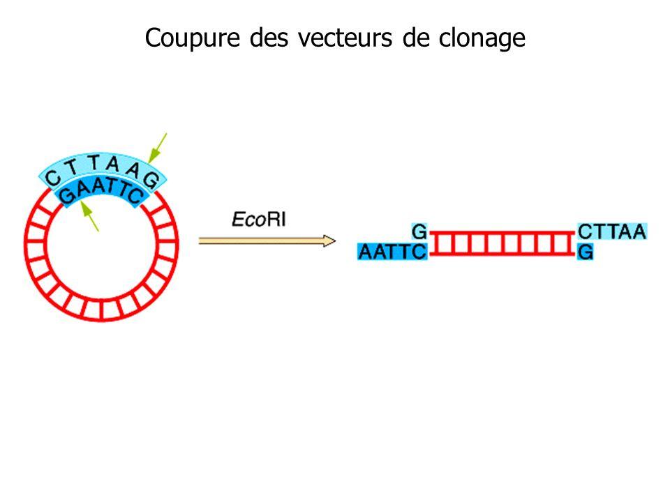 Coupure des vecteurs de clonage